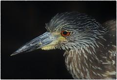 Yellow Crowned Heron, Juvenile (RKop) Tags: a77mk2 minolta600mmf4apog sanibel florida raphaelkopanphotography sony