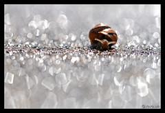 Helix (jo.pensel) Tags: macro nature bretagne flare helix escargot coquille sigma105mmmacro macrophotographie mollusque biodiversit proxyphotographie imagenature jopensel naturebretagne jocelynpensel jocelynpenselphotographe