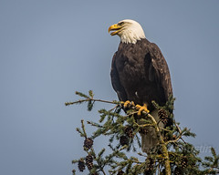 Bald Eagle (ausmc_1) Tags: canada bird adult outdoor britishcolumbia wildlife raptor portalberni d800 americanbaldeagle seaeagle 2016 baldeaglehaliaeetusleucocephalus nikkor2oo500