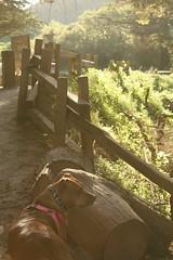 Kedzie (sweet.disposition) Tags: dog sunlight forest bigsur pitbull trail pfeifferbeach ilovedogs loveabull