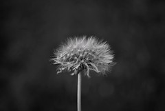 blowball (exceptwhen1) Tags: blackandwhite flower blackwhite dandelion blowball nikond3000