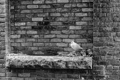 StPaulArtCrawl2016_46390-.jpg (Mully410 * Images) Tags: brick bird birds nest pigeon birding stpaul poop birdwatching nesting roost rockpigeon 2016 artcrawl niksilverefexpro