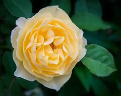 Rose-9643 (pnodrog) Tags: flower marlene