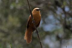 Cinnycerthia unirufa - Rufous Wren - Cucarachero Rufo (joergjonas) Tags: colombia easternandes southamerica aves birds joergjonas photography
