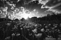 Perdere i colori ma non la bellezza (paolo bonfanti) Tags: nuvole campagna fiori sole bianco nero