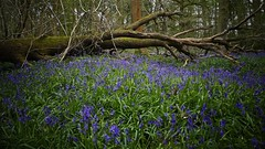 Fallen and blue (Englepip) Tags: blue plant tree bluebells landscape woods outdoor fallen saveearth englepip