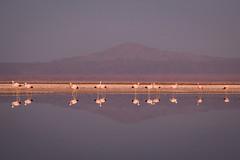 Atacama Desert, Chile (Bartosz Lisek) Tags: chile travel mountain reflection bird southamerica nature water canon landscape eos desert atacama flaming 24105 amerykapołudniowa 60d