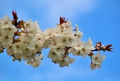 White Blossom (Edinburgh Photography) Tags: white nature st landscape outdoors nikon andrews blossom d7000