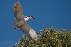 Black-Crowned Night Heron - Explore #159 4/25/16 (goingslo) Tags: ca heron morrobay egret rookery theembarcadero blackcrownednightheron nycticoraxnycticorax