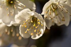 Mal wieder etwas Frühling (Elbmaedchen) Tags: pollen frühling blüten kirschblüte kirschbaum weis staubblätter spross karpelle