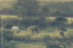 _DSC8867 (Izaias Lus) Tags: brasil caballos photography photographie cavalos equestrian equine nordeste chevaux equino haras equestre garanhunspe