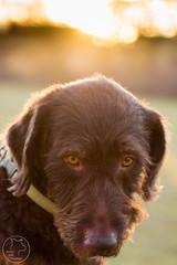 Uzlik_DogDays_Bosco-0143 (joscie-rae) Tags: dog dogs labradoodle goldendoodle americanstaffordshireterrier americanpitbullterrier dogportrait bullybreed americanbully