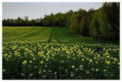 20160430-171205 (lichtschattenjaeger) Tags: yellow landscape gold diesel bio eifel gelb raps biodiesel vulkan getreide gerste weizen benzin hafer biosprit