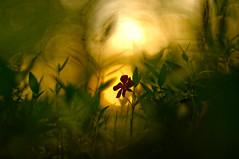 (baumannroman) Tags: sunset bokeh samsung m42 gx20 cosinon