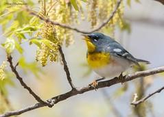 Northern Parula (sbuckinghamnj) Tags: newjersey warbler garretmountain northernparula