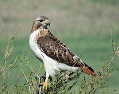 IMG_2450-copy (lbj.birds) Tags: bird nature hawk kansas redtailedhawk flinthillswildlife