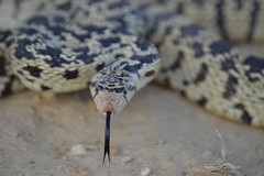 DSC_0390 (Swilso37) Tags: snake