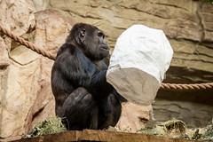 2015-12-29-12h39m34.BL7R5055 (A.J. Haverkamp) Tags: zoo gorilla poland polen warsaw bwana warszawa dierentuin warschau warszawie mazowieckie canonef70200mmf28lisusmlens dob13032007 pobamsterdamthenetherlands httpwwwzoowawpl