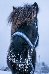 Vinterhst (Anki Grip) Tags: winter horse cold utdoors