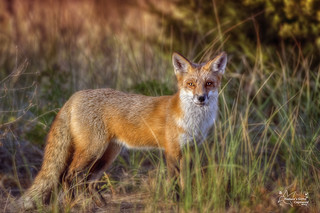 Red_Fox Regal