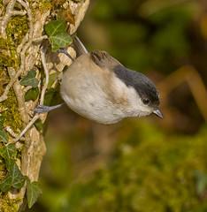 Marsh Tit - Poecile palustris (Ivan Lynas Nature Photography) Tags: