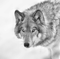 Timber Wolf (Roger Daigle) Tags: nikon wolf timber pack