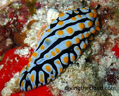 Phyllidia varicosa (divingthecloud) Tags: sea mar agua diving nudibranch maldives buceo phyllidia maldivas fotosub nudibranquio bajoelagua