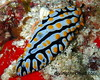 Phyllidia varicosa (divingthecloud) Tags: sea mar agua diving nudibranch maldives buceo phyllidia maldivas fotosub nudibranquio bajoelagua