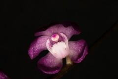 Sarcochilus ceciliae (andreas lambrianides) Tags: orchidaceae wildorchids australianflora australiannativeplants arfp australianrainforests sarcochilusceciliae nswrfp qrfp arfflowers pinkarfflowers australianrainforestorchids sarcochilusceciliaevareriochilus shadyrainforests