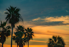 New Years Eve Evening (Edie Mendenhall) Tags: blue sunset sky orange palms colorful florida lastday treetops lookingup palmtrees newyearseve tropical tropics causeway noland portorange 2015 lastsunset treetopsonly