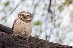 Spotted owlet - IMG_8263-1 (arvind agrawal) Tags: india bird wildlife raptor rajasthan bharatpur owlet keoladeonationalpark indianwildlife spottedowlet athenebrama bharatpurbirdsanctuary