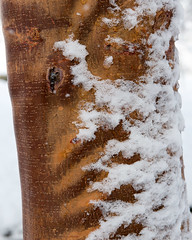 Acer griseum (Paperbark Maple) (Plant Image Library) Tags: new winter england 6 plant tree nature ecology maple massachusetts arnold arboretum bark acer february shrub botany paperbark 20016 griseum