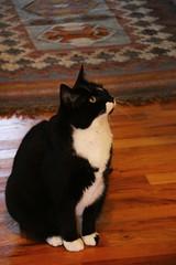IMG_7190 (SweetMeow) Tags: cats tuxedocats shelterisland