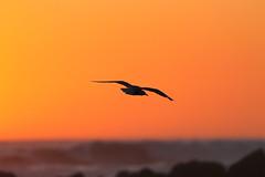 Gull at Sunset (blachswan) Tags: sunset coast waves australia victoria southernocean portfairy birdinflight silvergull thepassage