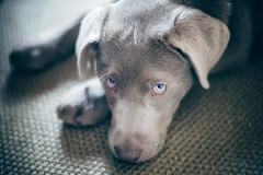 Fatigue (donlunzo16) Tags: city dog color film home germany puppy lens carpet town eyes nikon df raw nef stuttgart pack filter tired carl nd nikkor schlafen 58mm vignette afs lightroom 2x f114 fatigu preset vsco