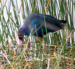 20160118-_74P1766.jpg (Lake Worth) Tags: bird nature birds animal animals canon wings florida wildlife feathers wetlands everglades waterbirds southflorida birdwatcher 2xextender sigma120300f28dgoshsmsports