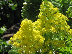 starr-110201-0528-Aeonium_arboreum-flowers-Keokea-Maui (Starr Environmental) Tags: aeoniumarboreum
