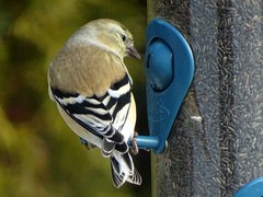 Feb4,2016 053 American Goldfinch (terrygray) Tags: finch