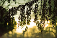 20160116-29_Coombe Country Park_Yew  Needles (gary.hadden) Tags: trees silhouette yew needles minimalist coombeabbey coombecountrypark coombepark