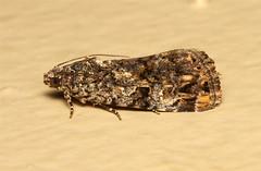Lepidoptera (Moth sp.) - South Africa (Nick Dean1) Tags: insect southafrica moth insects lepidoptera arthropoda krugernationalpark arthropod hexapod insecta lowersabie hexapods hexapoda