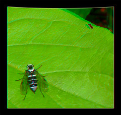 Chrysopilus Fasciatus, Snipe Fly on Leaf 1 - Anaglyph 3D (DarkOnus) Tags: macro beautiful closeup female bug lumix fly leaf stereogram 3d pennsylvania butt anaglyph panasonic stereo thursday stereography buckscounty diptera snipe fasciatus chrysopilus dmcfz35 beautifulbugbuttthursday