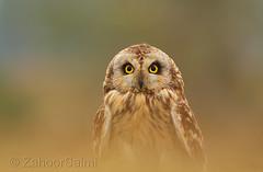 Short-eared owl (Zahoor-Salmi) Tags: camera pakistan macro nature birds animals canon lens photo tv google flickr natural action wildlife watch bbc punjab wwf salmi walpapers chanals discovry beutty bhalwal zahoorsalmi