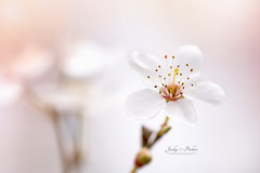 Wild Cherry Blossom (Jacky Parker Floral Art) Tags: flowers white tree outdoors stem blossom nopeople freshness selectivefocus naturephotography macrophotography floralart colorimage fragility beautyinnature horizontalformat flowerphotography focusonforeground floralfriday wildcherryblossom spring2016