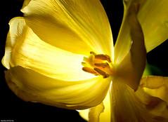 Yellow Tulip (Emil de Jong - Kijklens) Tags: light licht geel tegenlicht tulp stamper warmte meeldraden gainst