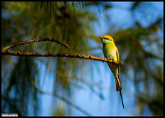 Green bee-eater (Chinmay Avachat Photography) Tags: camera copyright india green slr bird art beach beautiful composition canon lens photography rebel flickr moments creative commons best potd explore cap maharashtra pictureoftheday ornithology pune allrightsreserved photooftheday beeeater picoftheday konkan tarkarli greenbeeeater malvan sindhudurg photographerpune 700d flickriver t5i chinmayavachatphotography