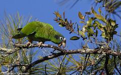 1-No me de cotorra cuida, el bosque!! Dedicada a Yolanda Len, una conservacionista que junto al Grupo Jaragua se ha dedicado en cuerpo y alma a salvar esta especie!JUNTOS SOMOS VERDE!!!! (Cimarrn Mayor !!!7,000.000 DE VISITAS, GRACIAS!!) Tags: naturaleza bird fauna libertad dominicanrepublic pssaro ave oiseau libre vogel montaas cotorra caribe uccello panta ptak fgel lintu repblicadominicana  dominicano ptica  quisqueya repdominicana endmica  ptek libertee cimarrnmayor canoneos7dmarkii 7dmarkii endmicadelahispaniola josmiguelpantalen canon7dmarkii telefoto700mm ordenpsittaciformes superfamiliapsittacoidea familiapsittacidae subfamiliaarinae tribuandroglossini generoamazona nombrecientficoamazonaventralis nombreingleshispaniolanparrot statusendemicaamenazadadelahispaniola lugardecapturacordilleracentral