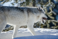 Yellowstone (Feddal Nora) Tags: yellowstone nationalpark canon70200f28 snow mountain wolf wolves wolfpack wildlife wildlifeyellowstone yellowstonenationalpark landscape wild neige nature winter canon70200f28lll canon70200 70mm200mm canon70200f28isnora feddal canon6d canon