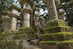 (ikaugust_t93) Tags: animal japan canon eos shrine deer  5d nara    5dmk3 5dmark3