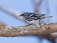 Black And White Warbler Eating (ruthpphoto) Tags: nature birds animals wildlife eat avian warbler loxahatchee blackandwhitewarbler