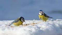 Birds (sylvette.T) Tags: blue winter white snow nature yellow bread hiver neige oiseaux 2016 greatphotographers sigma120300 mésangesbleues nikond5100